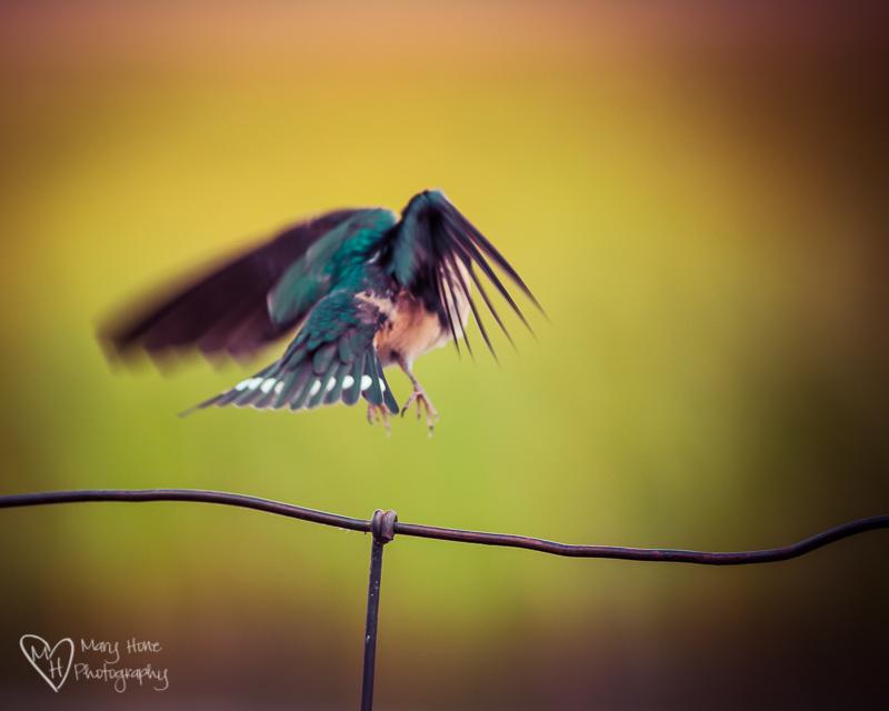 Birds, Beautiful Birds. Swallow