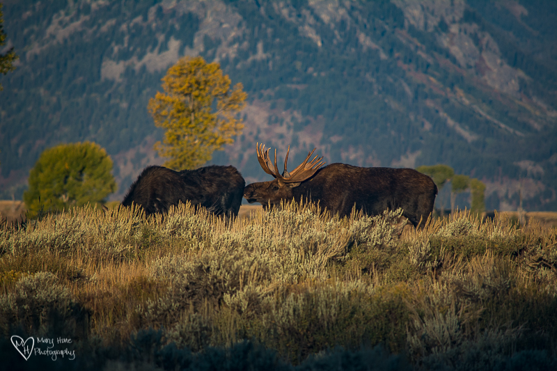 Bull moose and cow mating season