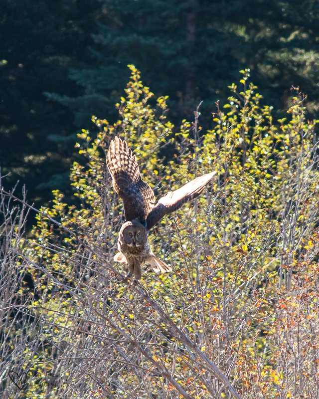 Watching a Great Gray Owl Hunt