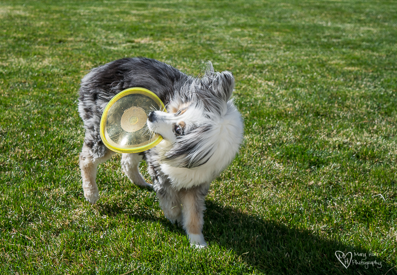 Happy Birthday Torrey, goofy dog photo, miniature aussie playing frisbee