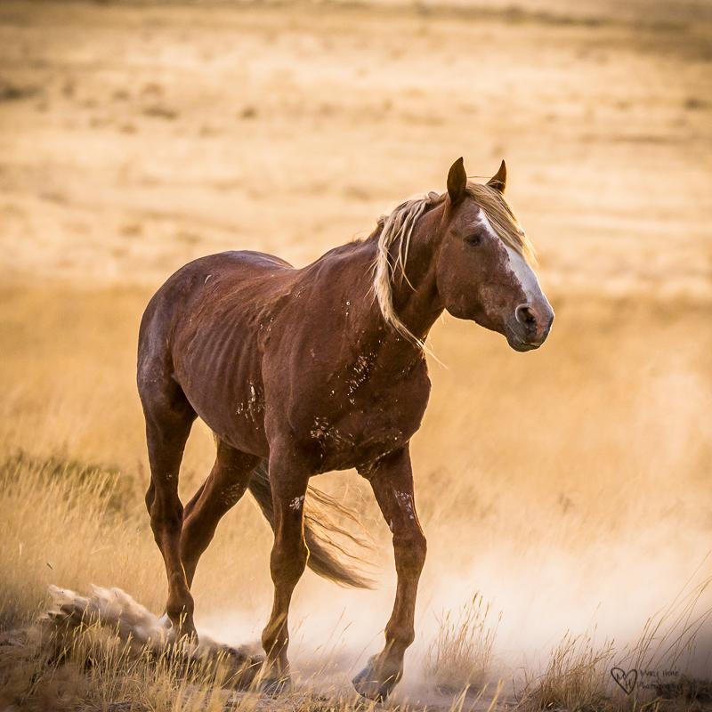 Old wild horse stallion