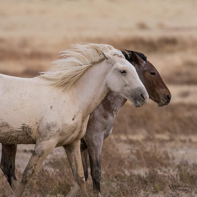 Wild Horse Week-Running Wild and Free