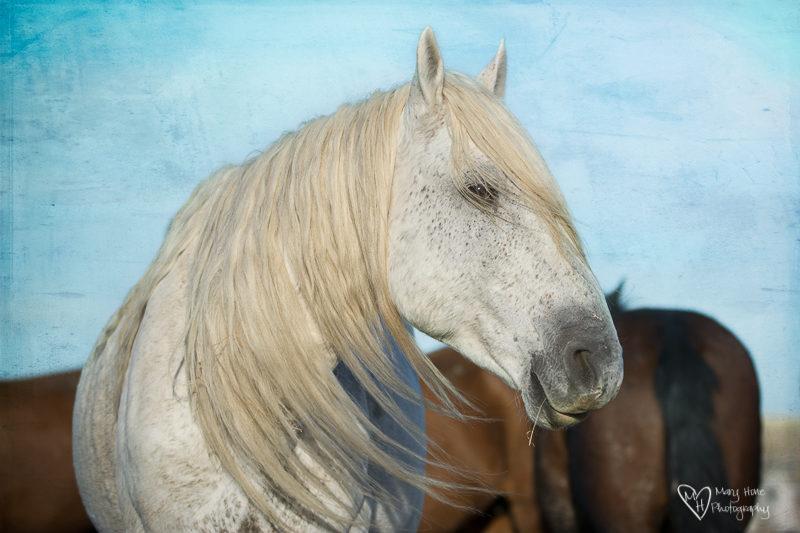 handsome white wild horse stallion