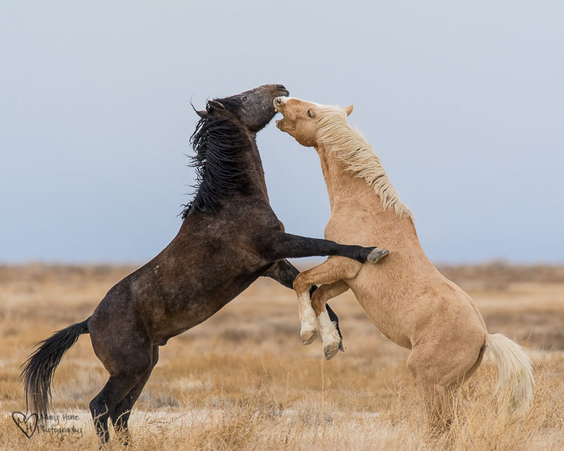 Palomino wild horse fighting with another stallion