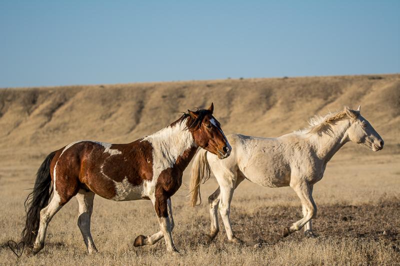 wild horses running to water. Wild Horse Freedom