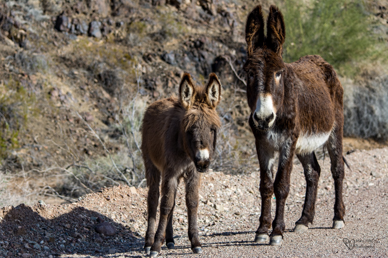 Wild Burros, mom and baby