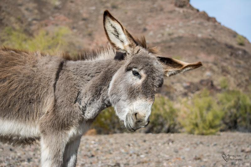 Wild Burros, Such Cute Little Ass's