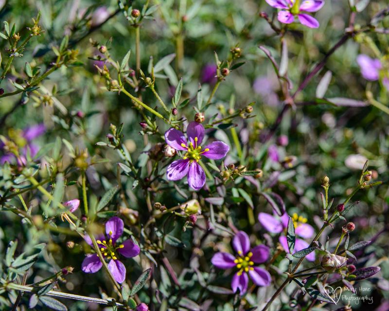 California fagonbush