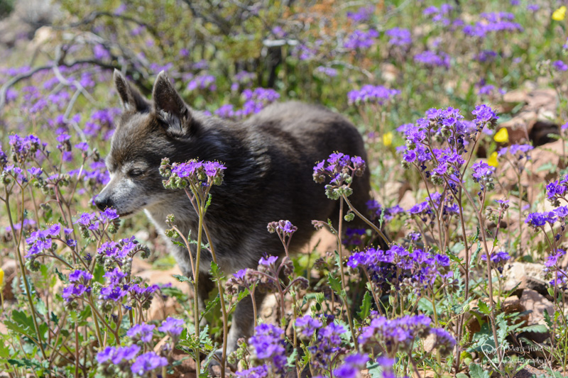 roxy in the wild flowers