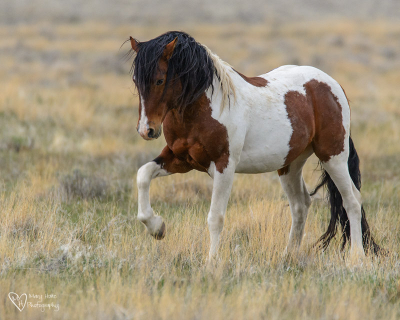 wild horse stalllion
