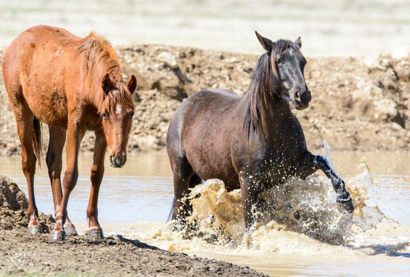 Wild Horse in the water splashing