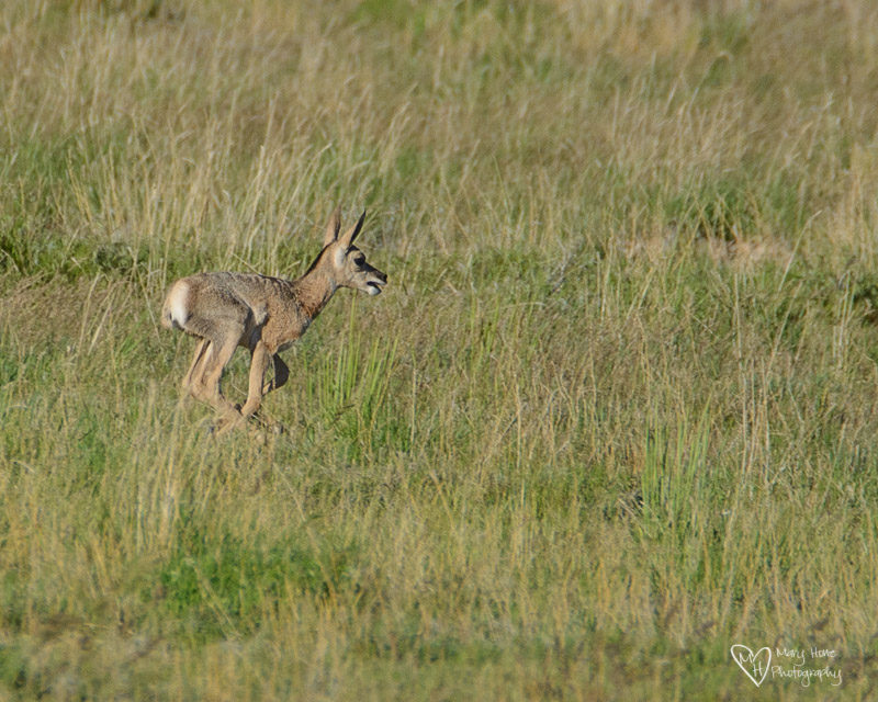 Pronghorn antelope fawn running