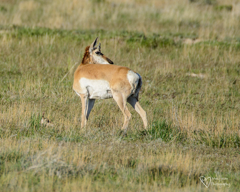 a mothers love is everywhere, baby pronghorn antelope