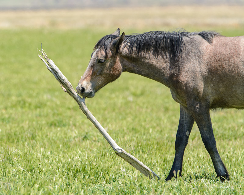 This funny horse thinks he's a dog, wild horse playing with a stick