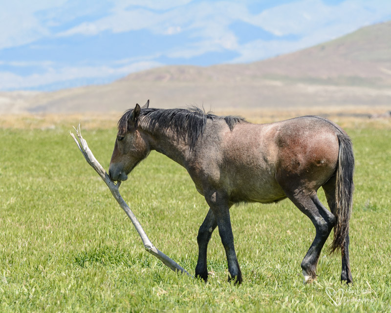 wild horse carrying a stick around