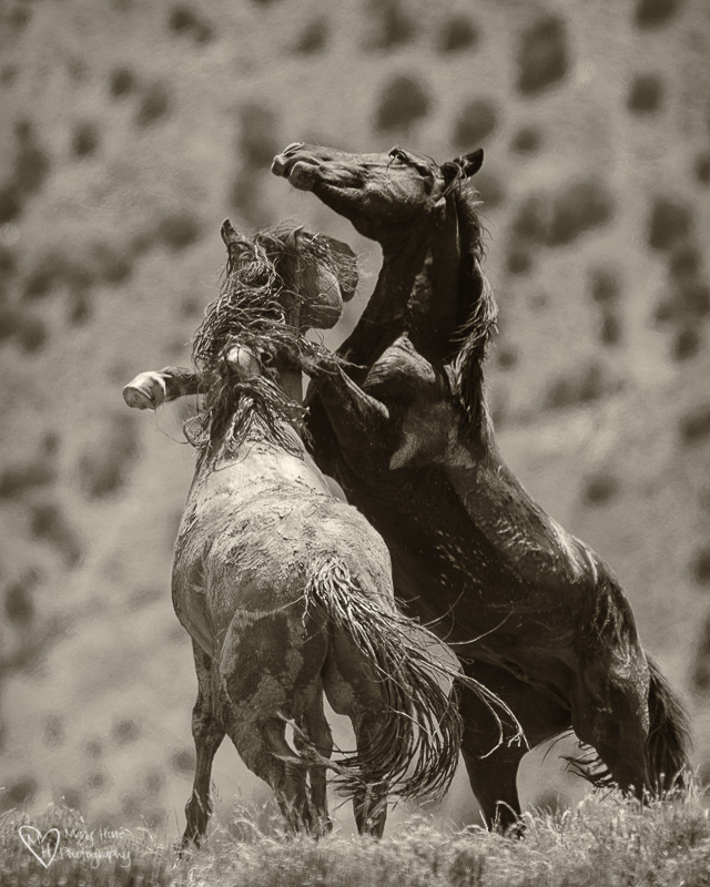 Wild Horses fighting, Hoof beats on my heart