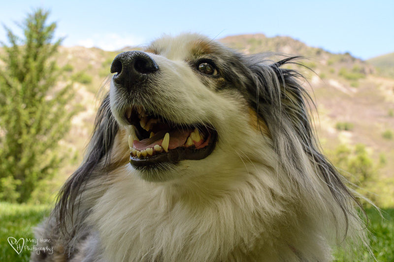 mini aussie dog