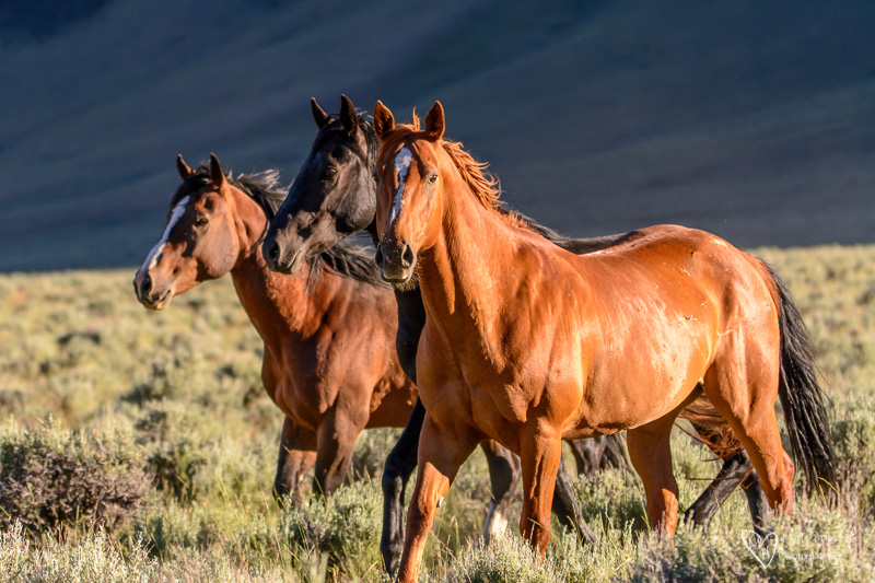 Wild horses in Idaho