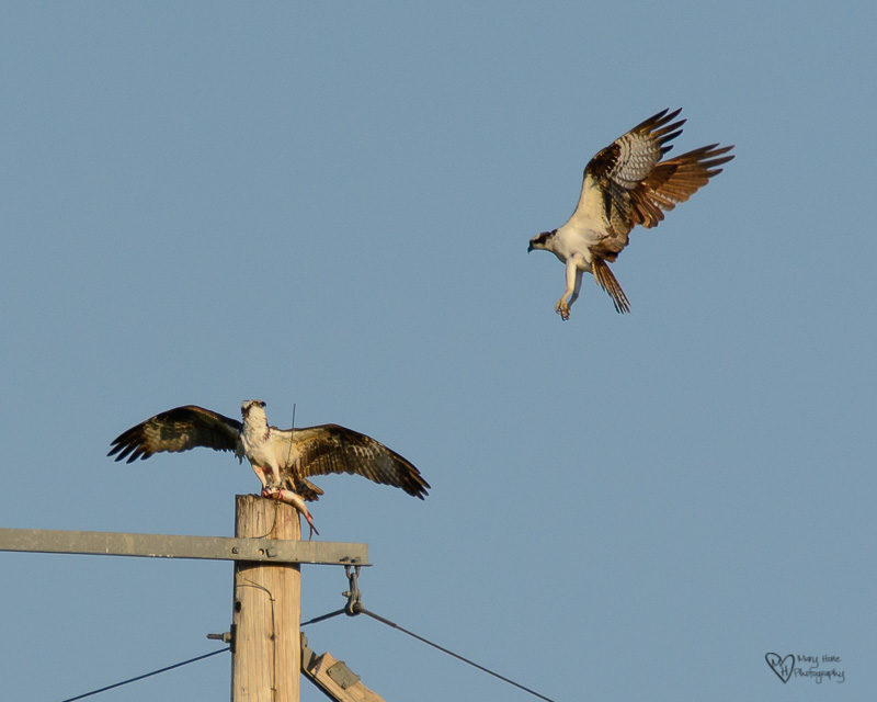 2 osprey flying while one has a fish