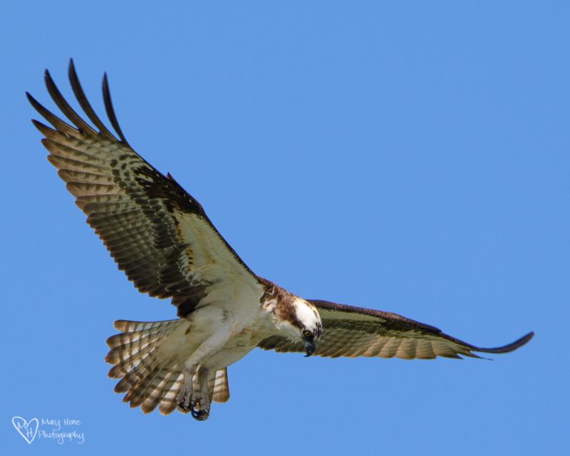 osprey hunting fish