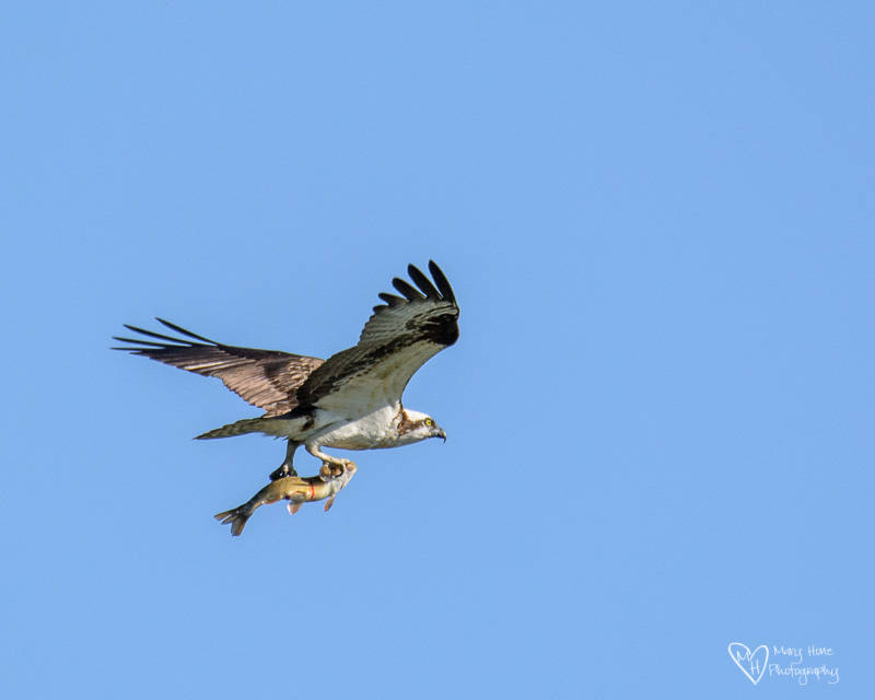 osprey flying with a fish