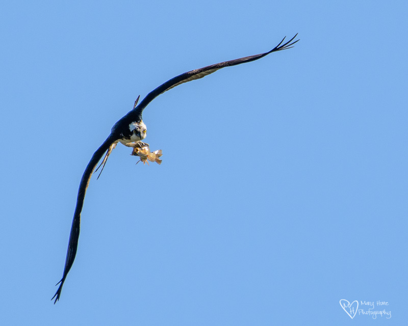 osprey with a fish, life on the river