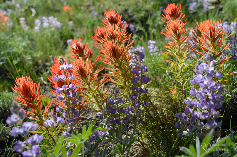 wild flowers in idaho indian paintbrush