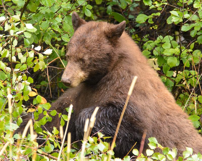 It's a Bear Eat Berry World, bear eating berries