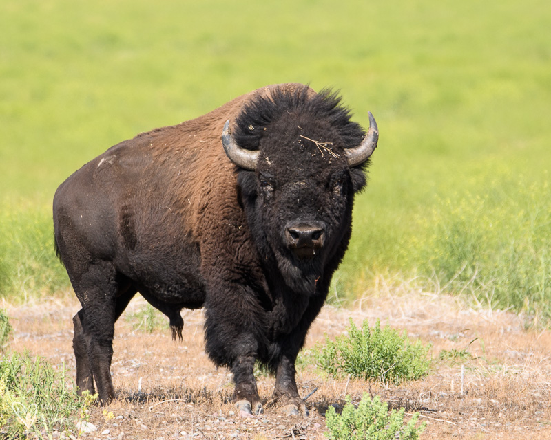 big bull bison, Wyoming Wildlife Large and Small