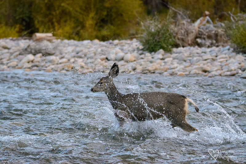 deer fawn in the river