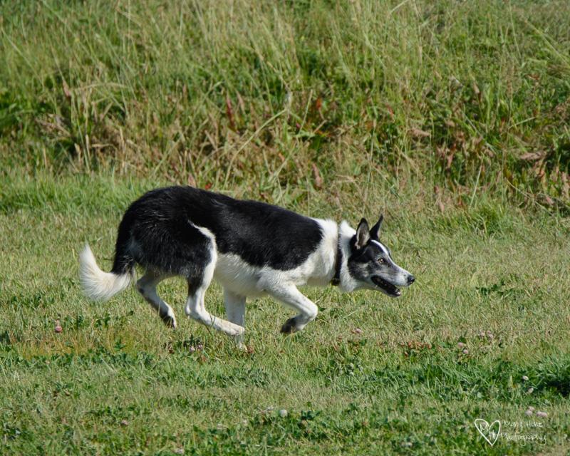 Soldier Hollow Sheep Dog Trials