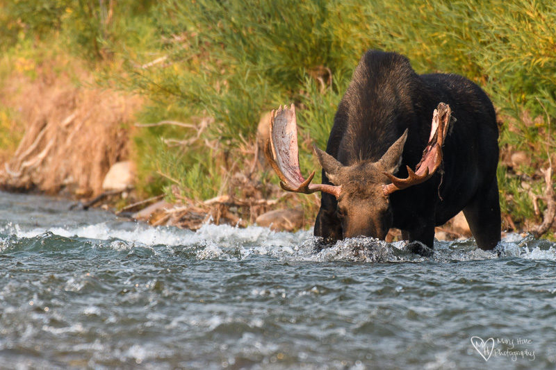 bull moose drinking in the river