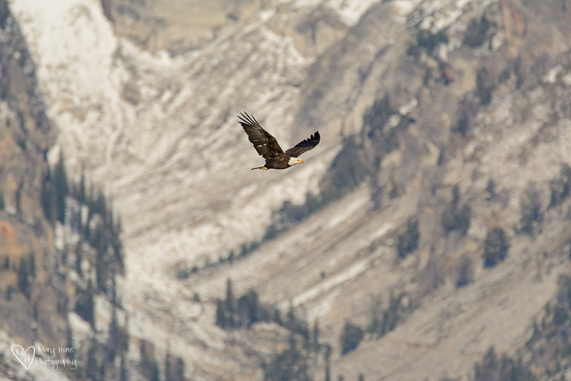 bald eagle in the tetons