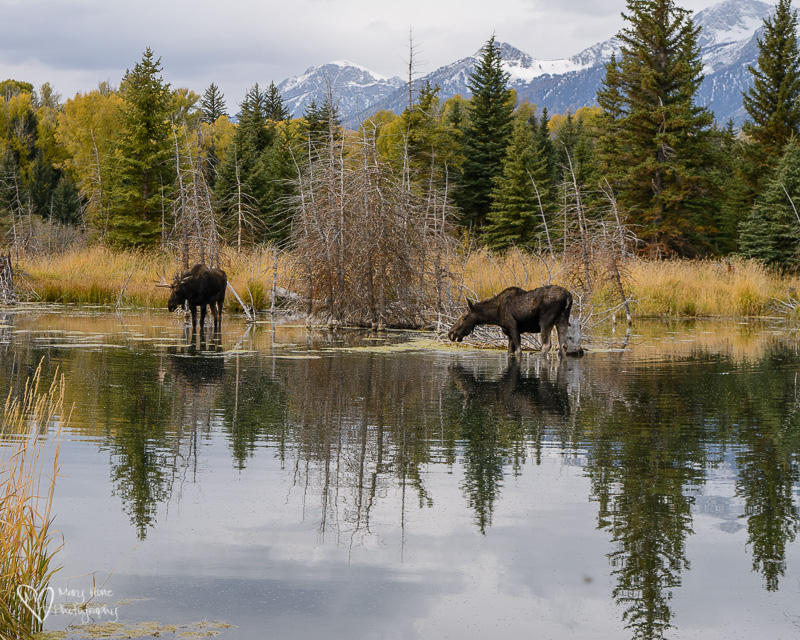 moose at schwabacher landing