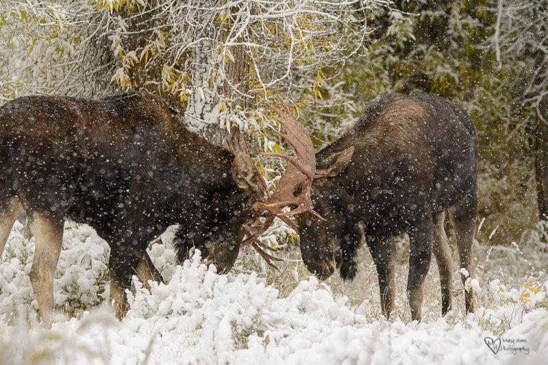 Moose in the Snow fighting