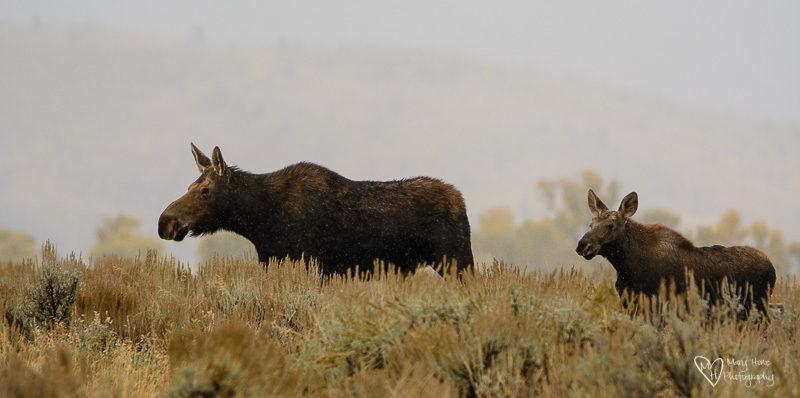 moose running
