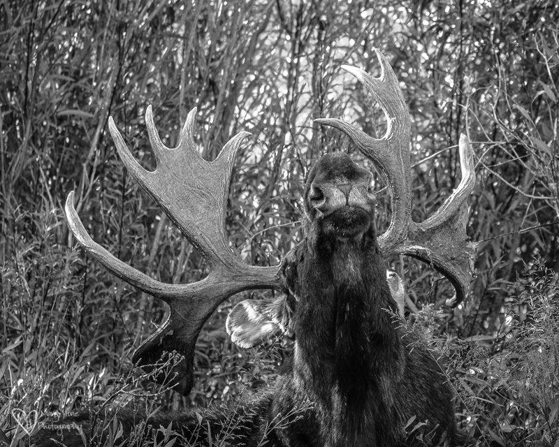 bull moose in black and white