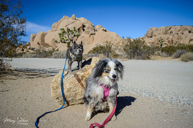 1 day with 2 dogs in Joshua Tree NP
