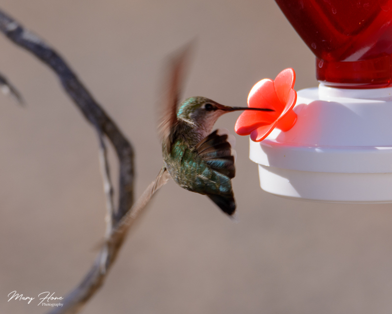 hummingbirda at feeder