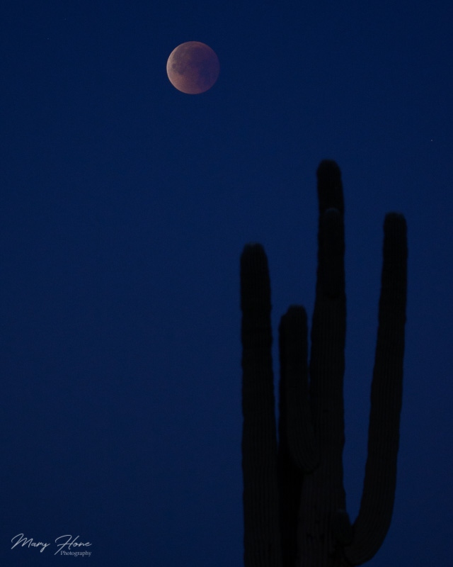 Super Blue Blood Moon with saguaro cactus