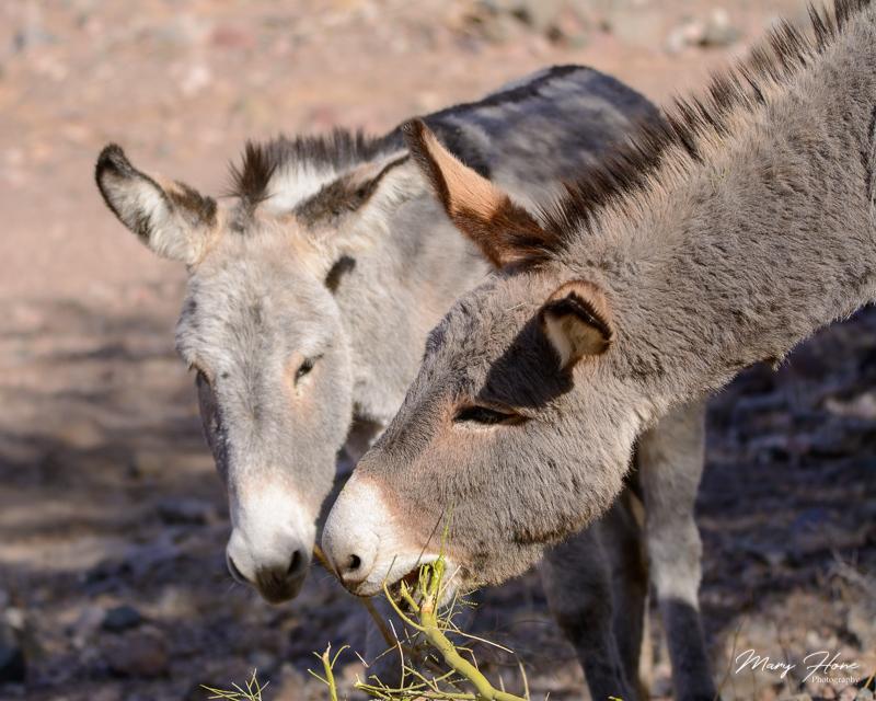 wild burro eating palo verde
