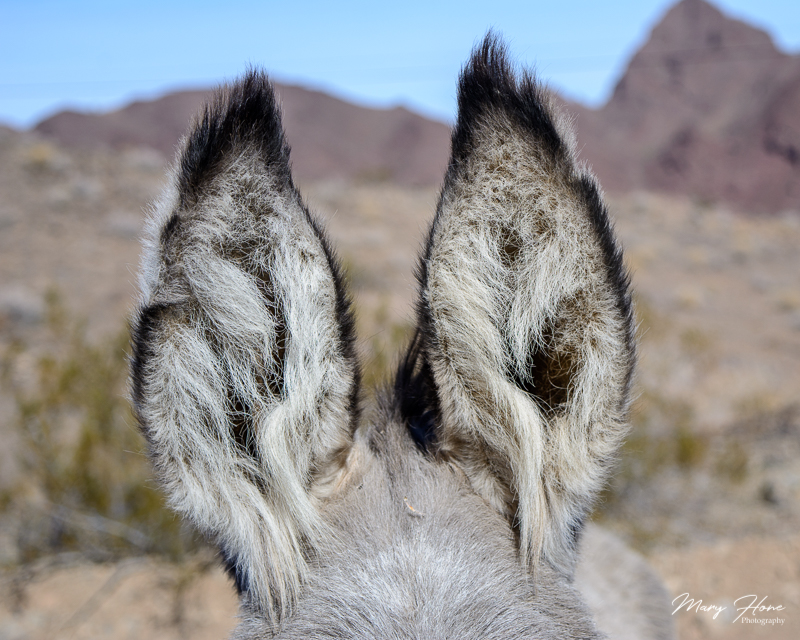 wild burro ears