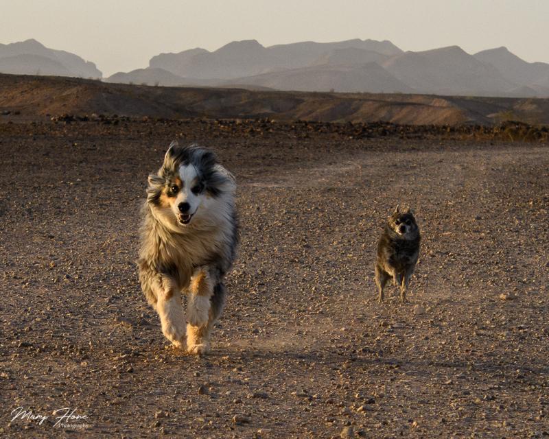 dogs running in the desert