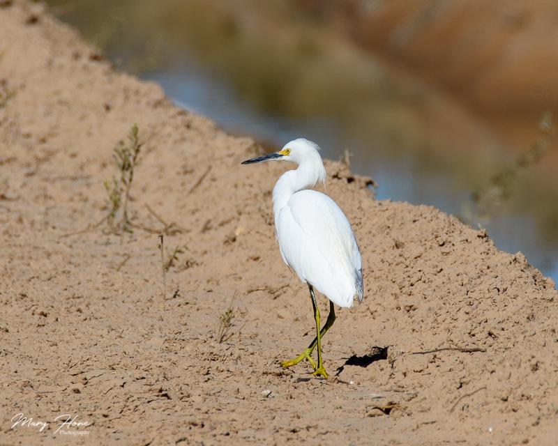 egret, white egret