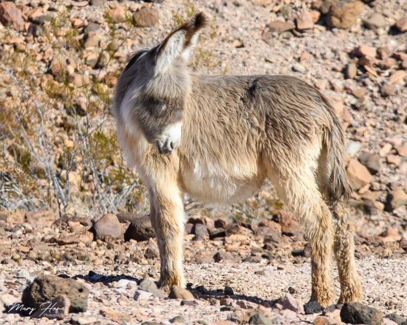 fuzzy burro