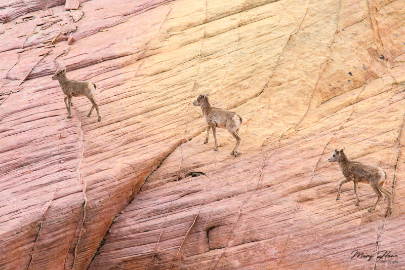 Valley of Fire bighorn sheep lambs