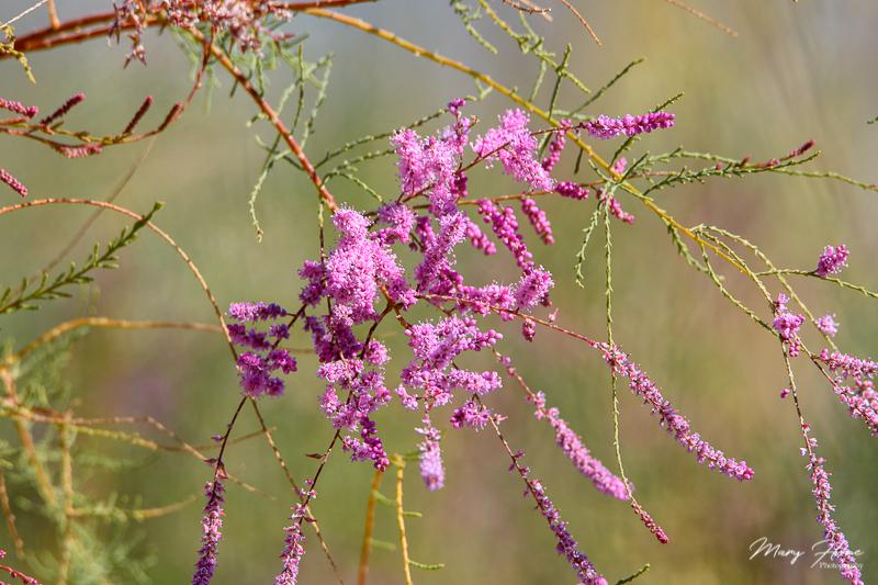 tamarisk flowers