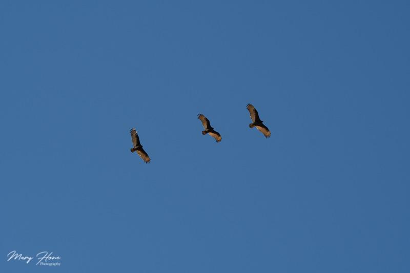 buzzards in flight