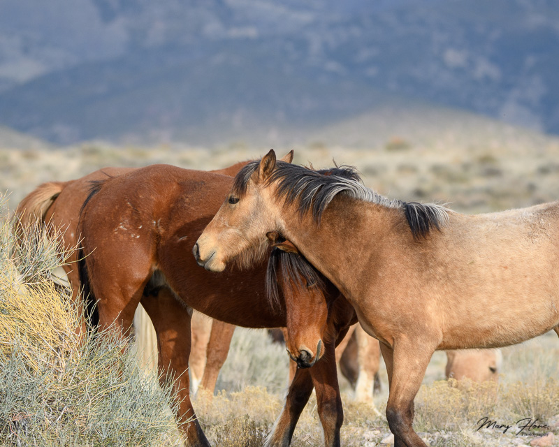 wild horse mares