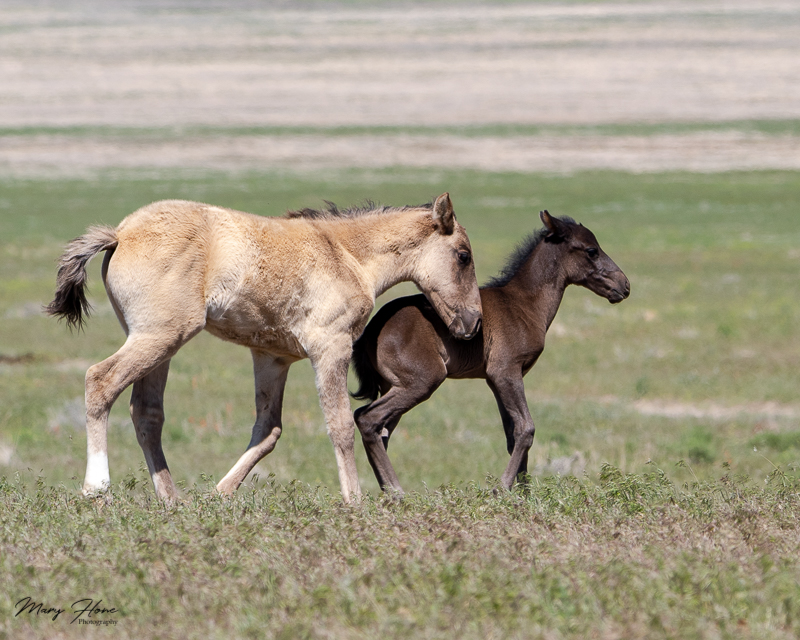 wild horse foals playing